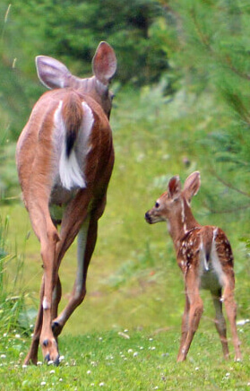 Bambi et sa mère | Chalets aux crocollines à Lac-Simon, Québec